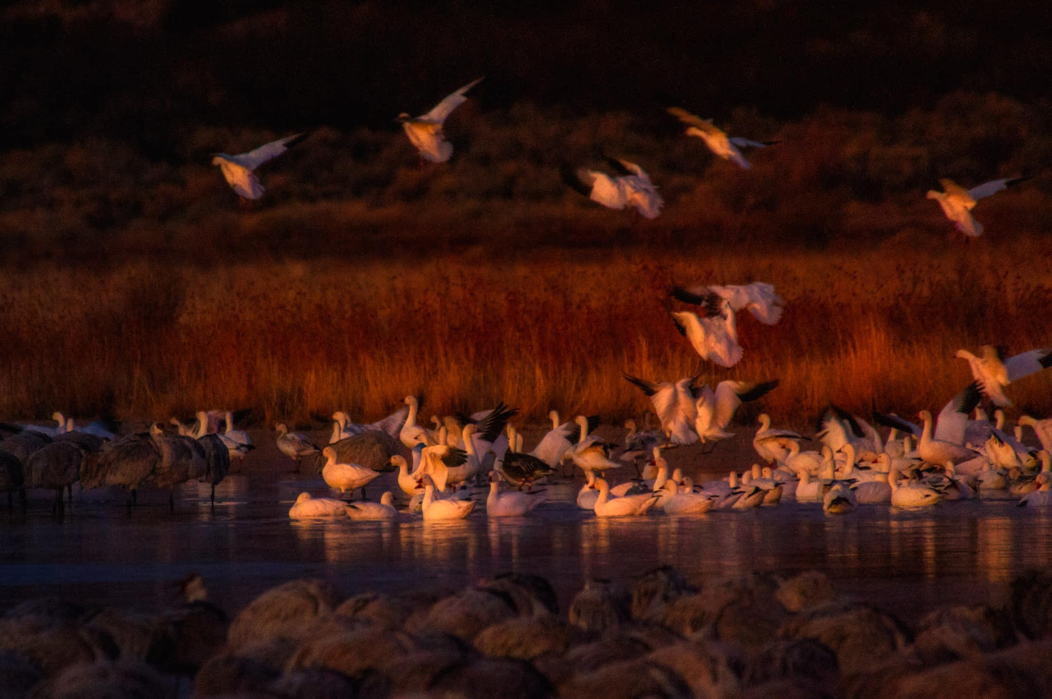 It is dawn and the Snow Geese, who are early risers, are just starting to take off for the day from a pond near Bosque del Apache, just south of Socorro, New Mexico.