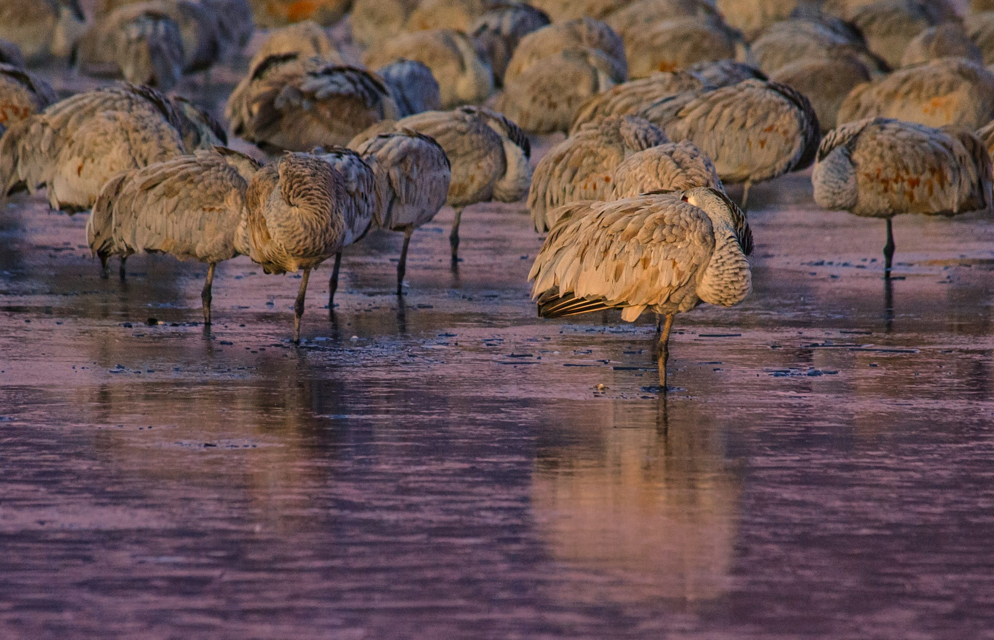 Slumbering Sandhill cranes standing in icy water before dawn at the Bosque del Apache National Wildlife Refuge, near Socorro, New Mexico. Notice that the surface of the pond has frozen around the legs of the cranes and that each crane is standing on only one leg - all to conserve heat.