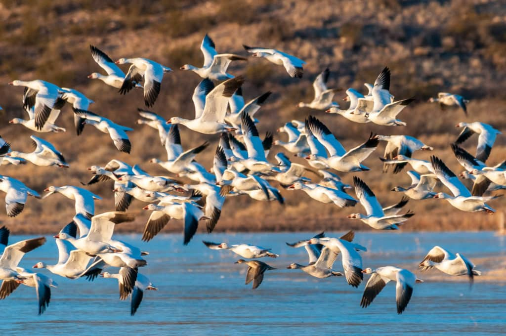 Arctic Snow Geese take to the air at sunrise in the Bosque del Apache National Wildlife Refuge, near Socorro, New Mexico. All these geese took off within a second or two.
