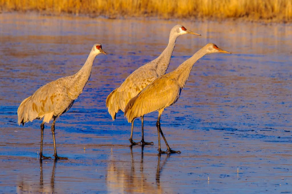 Sandhill Cranes stretch their necks as they check their surroundings in the Bosque del Apache National Wildlife Refuge, near Socorro, New Mexico.
