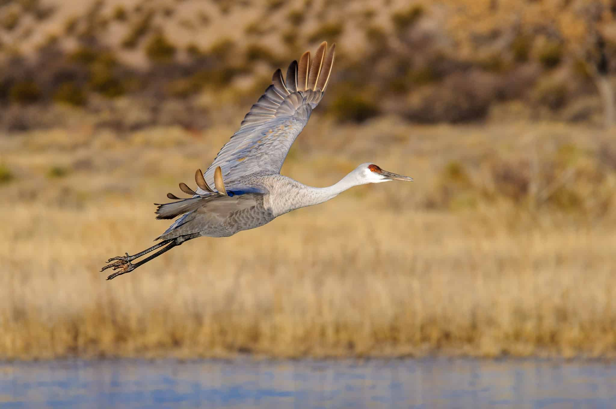 Sandhill Crane makes its morning departure from  the Bosque del Apache National Wildlife Refuge, near Socorro, New Mexico.