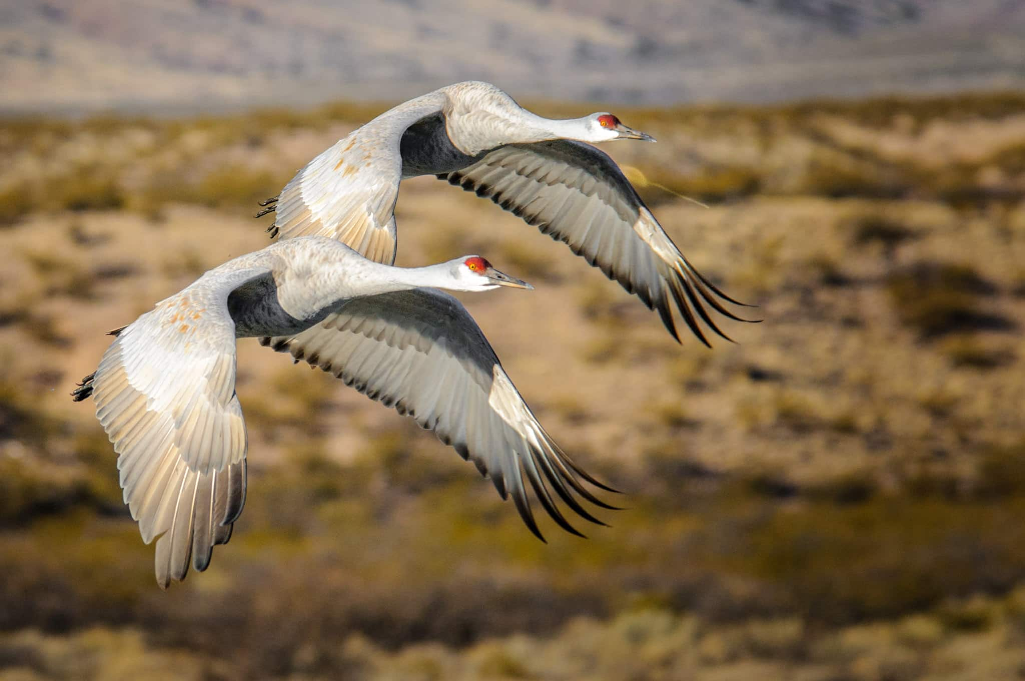 Sandhill Cranes make their morning departure from  the Bosque del Apache National Wildlife Refuge, near Socorro, New Mexico.