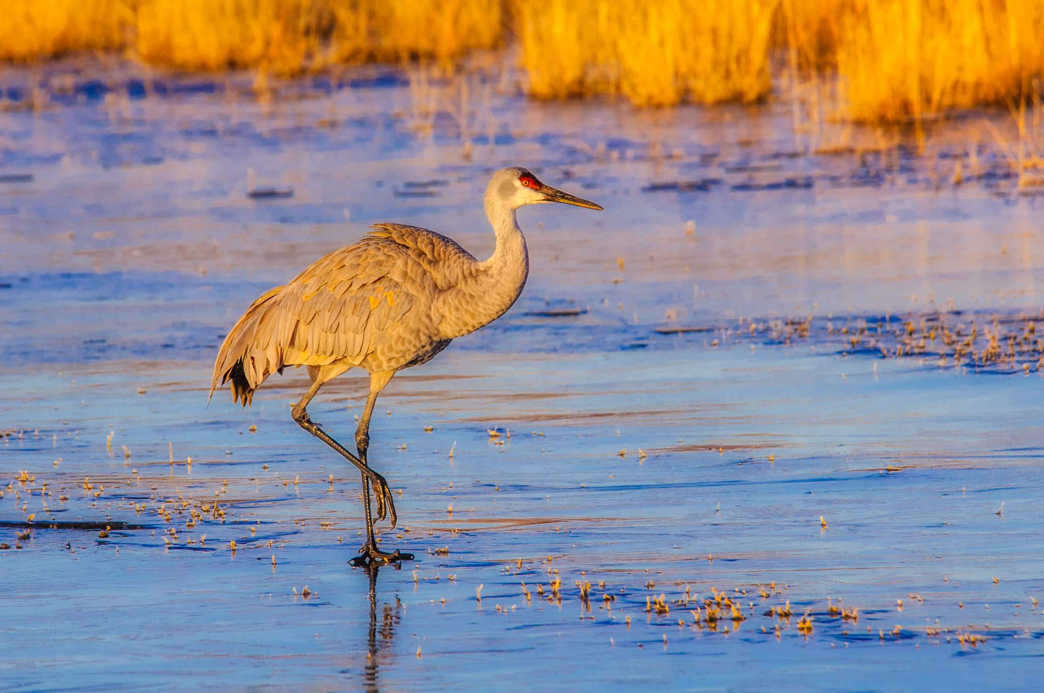 A Sandhill Crane walks across the ice atop the pond where it spent the night.