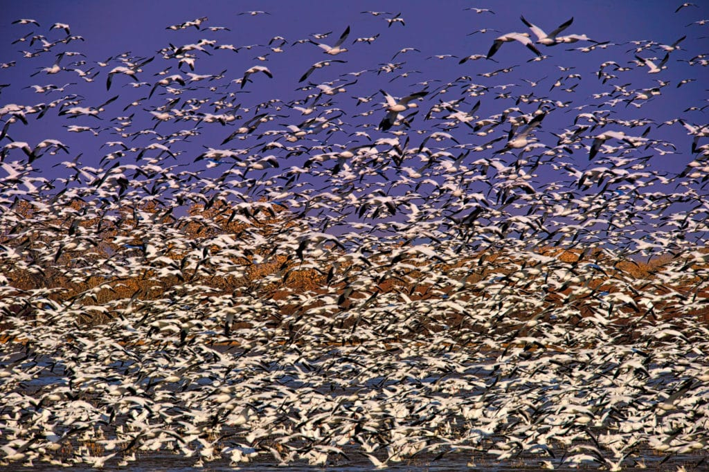 Snow Geese take flight from a pond located in Bosque del Apache National Wildlife Refuge near Socorro, New Mexico.