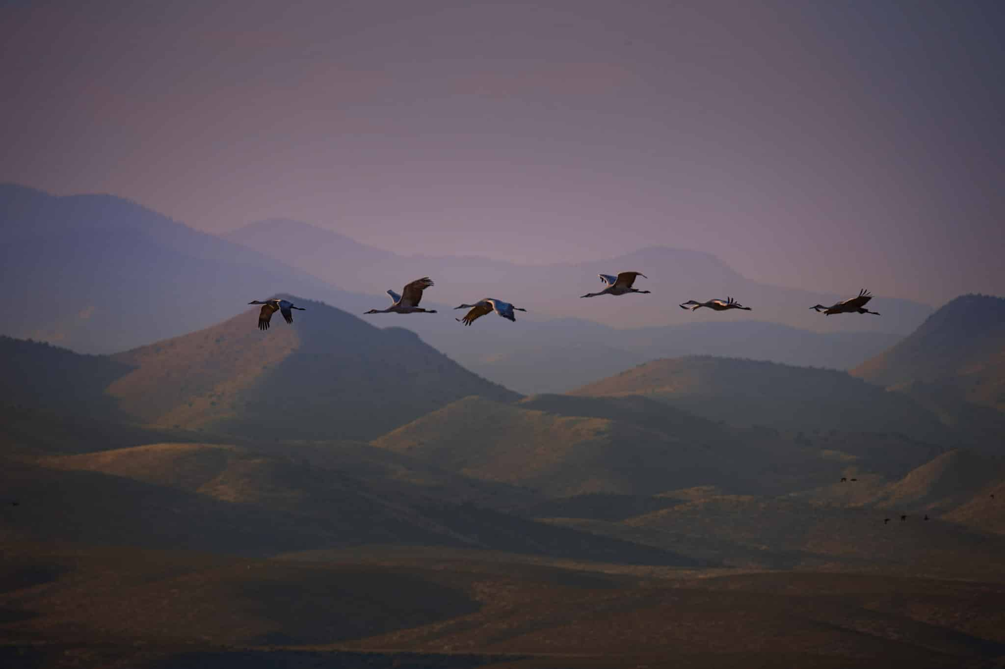 Six Sandhill Cranes fly in a line, each with a slightly different winf position, in Bosque del Apache NWR near Socorro, New Mexico.