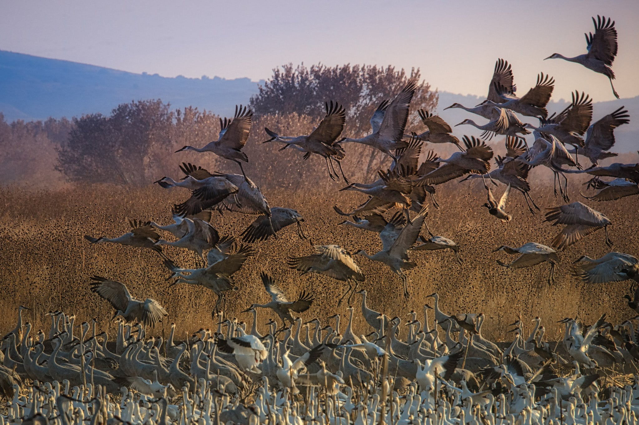 A group of Sandhill Cranes take off from a pond, where they had been roosting with Snow Geese, in Bosque del Apache near Socorro, New Mexico.