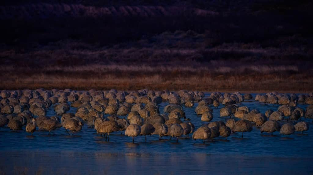 A flock of Greater Sandhill cranes roost in one of the many ponds in Bosque del Apache. They look like cushions on stilts.