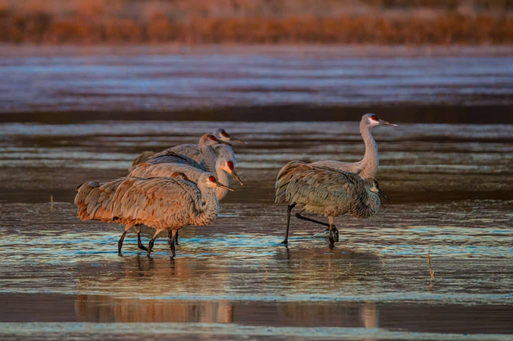 A family group of Sandhill Cranes catch the early morning sun in Bosque del Apache National Wildlife Refuge. Notice the variation in the color of the feathers.