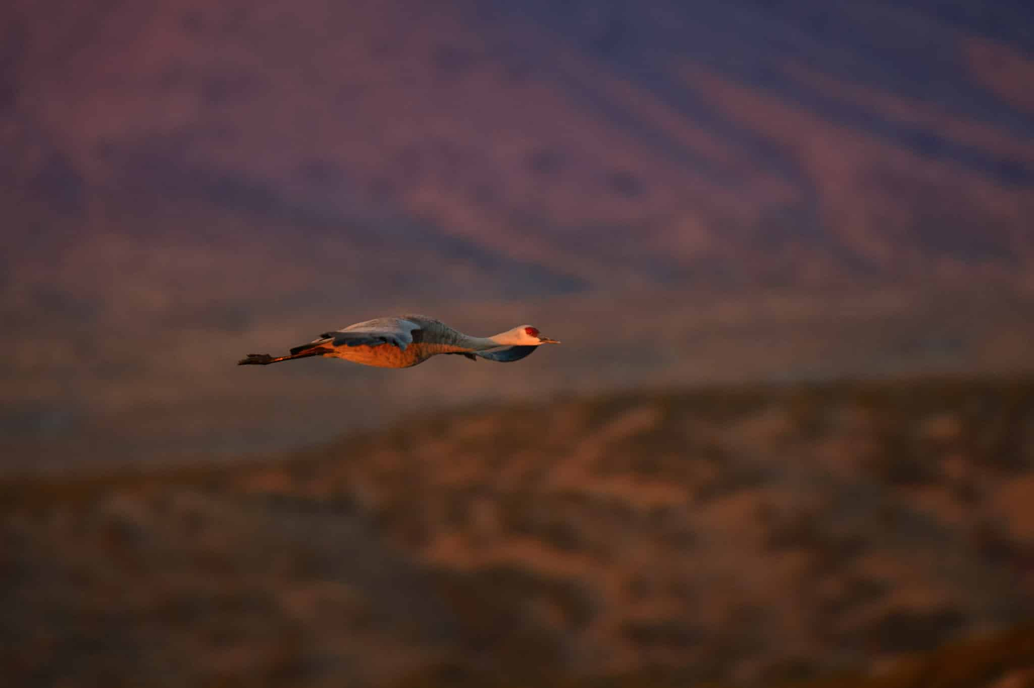 A lone Sandhill Crane glides through the dawn light to join other cranes feeding in the nearby cornfields in Bosque del Apache National Wildlife Refuge in New Mexico.