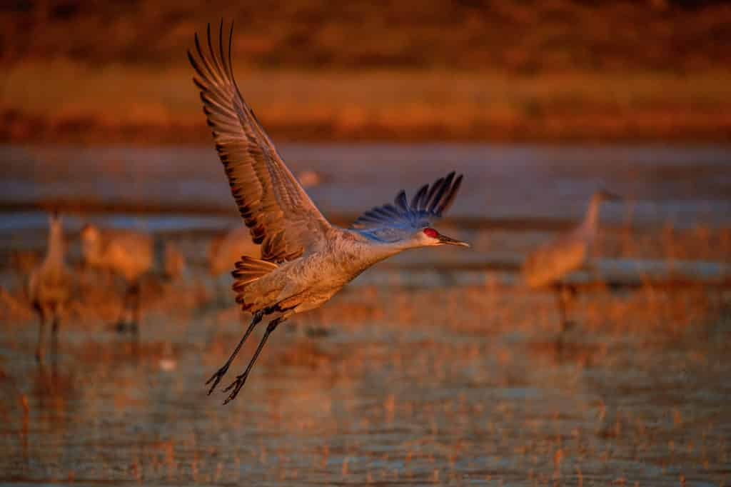In the early morning, a Sandhill Crane takes off from a pond to begin the day's feeding.