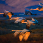 A group of Greater Sandhill Cranes have just taken off from the over-night pon to begin a long day of feeding in nearby corn fields in Bosque del Apache National Wildlife Refuge in New Mexico. One of several new Bosque del Apache photographs.