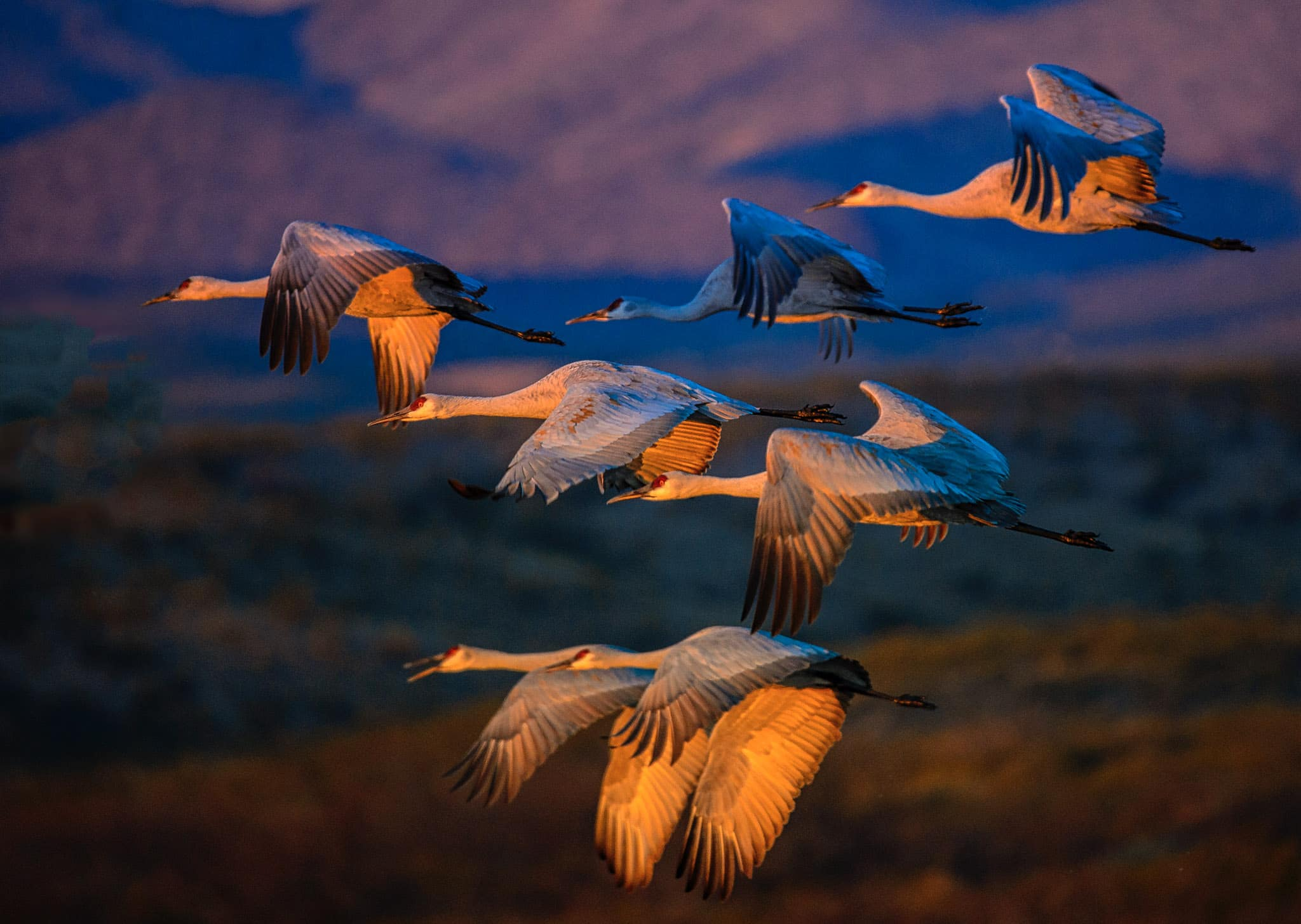 A group of Greater Sandhill Cranes have just taken off from the over-night pon to begin a long day of feeding in nearby corn fields in Bosque del Apache National Wildlife Refuge in New Mexico.