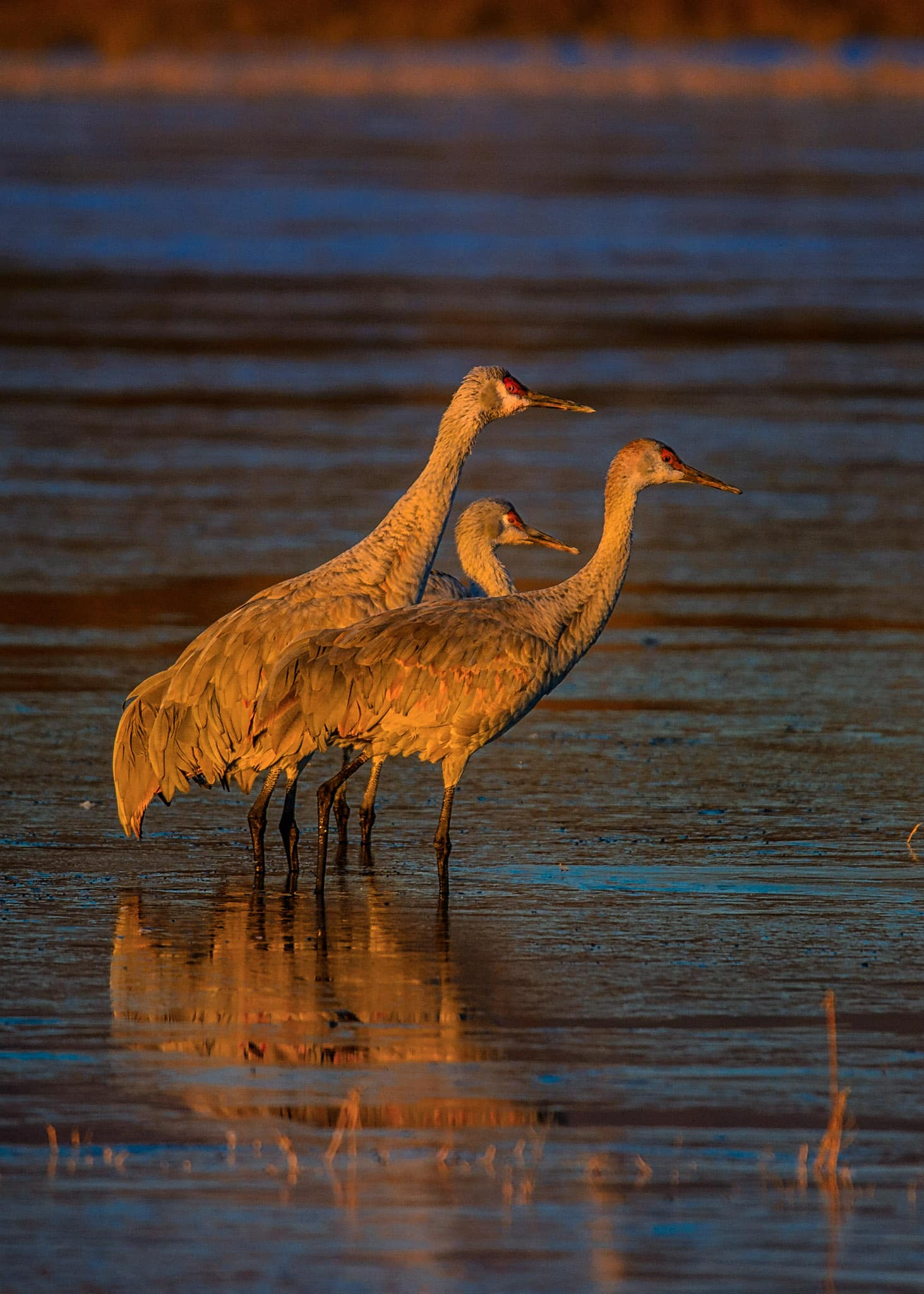 A family group of Greater Sandhill Cranes slowly starts the new day in a pond in Bosque del Apache National Wildlife Refuge near Socorro, New Mexico.