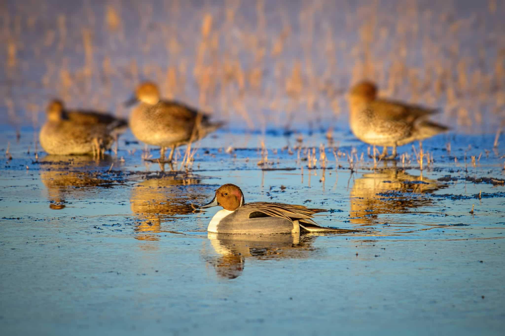 Northern Pintail ducks feed in a pond in Bosque del Apache National Wildlife Refuge near Socorro, New Mexico.