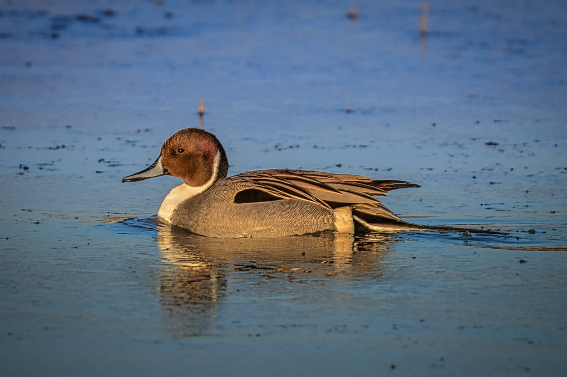 A Northern Pintail Duck cruises in a pond in Bosque del Apache National Wildlife Refuge near Socorro, New Mexico.