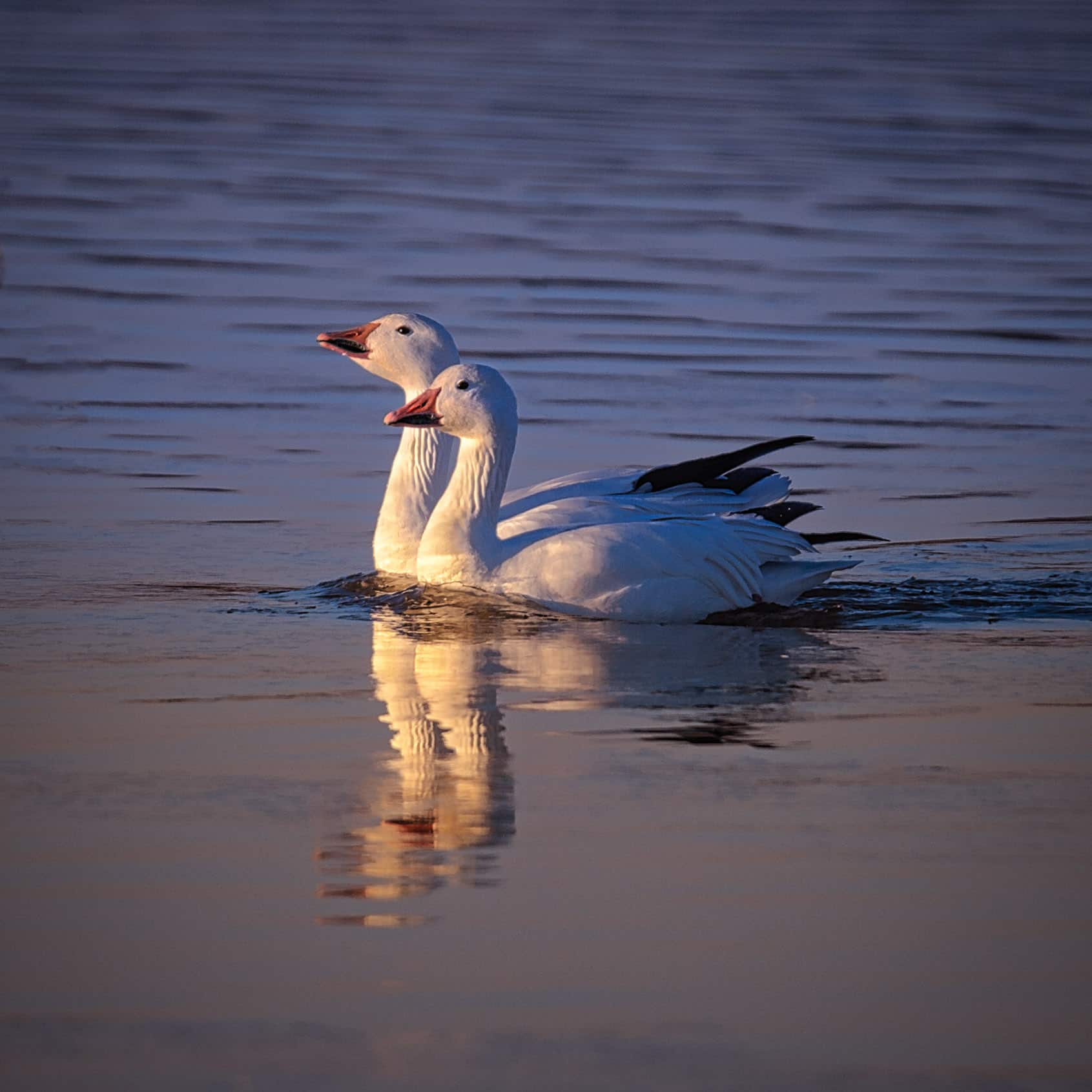 A pair of Snow Geese take a swim in a pond in Bosque del Apache National Wildlife Refuge near Socorro, New Mexico.