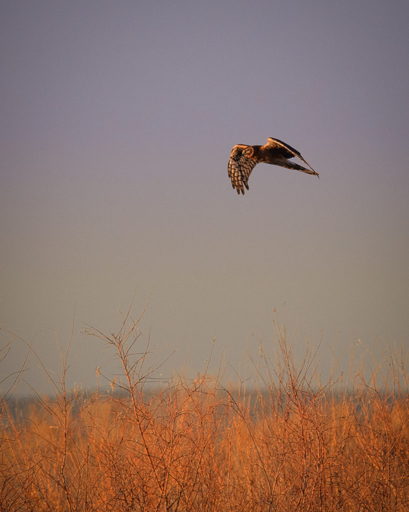 This female Northern Harrier is hovering over the weedy verge between an access road and a pond in Bosque del Apache National Wildlife Refuge near Socorro, New Mexico