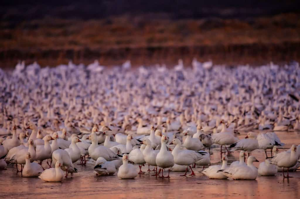 Snow geese are getting ready for the mass ascension from their overnight pond in Bosque del Apache National Wildlife Refuge near Socorro, New Mexico.
