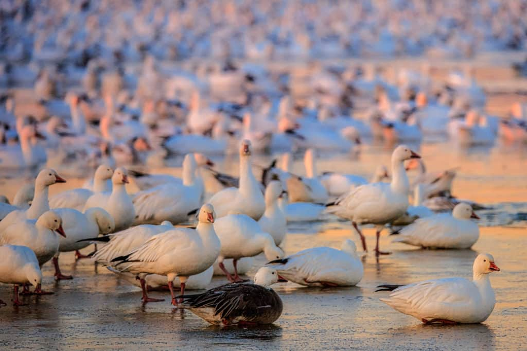 The goose in the foreground has grayish blue feathers on its back, one of two morphs found in Snow Geese:  the white morph and the blue morph. This flock is resting on a frozen pond in Bosque del Apache National Wildlife Refuge near Socorro, New Mexico.