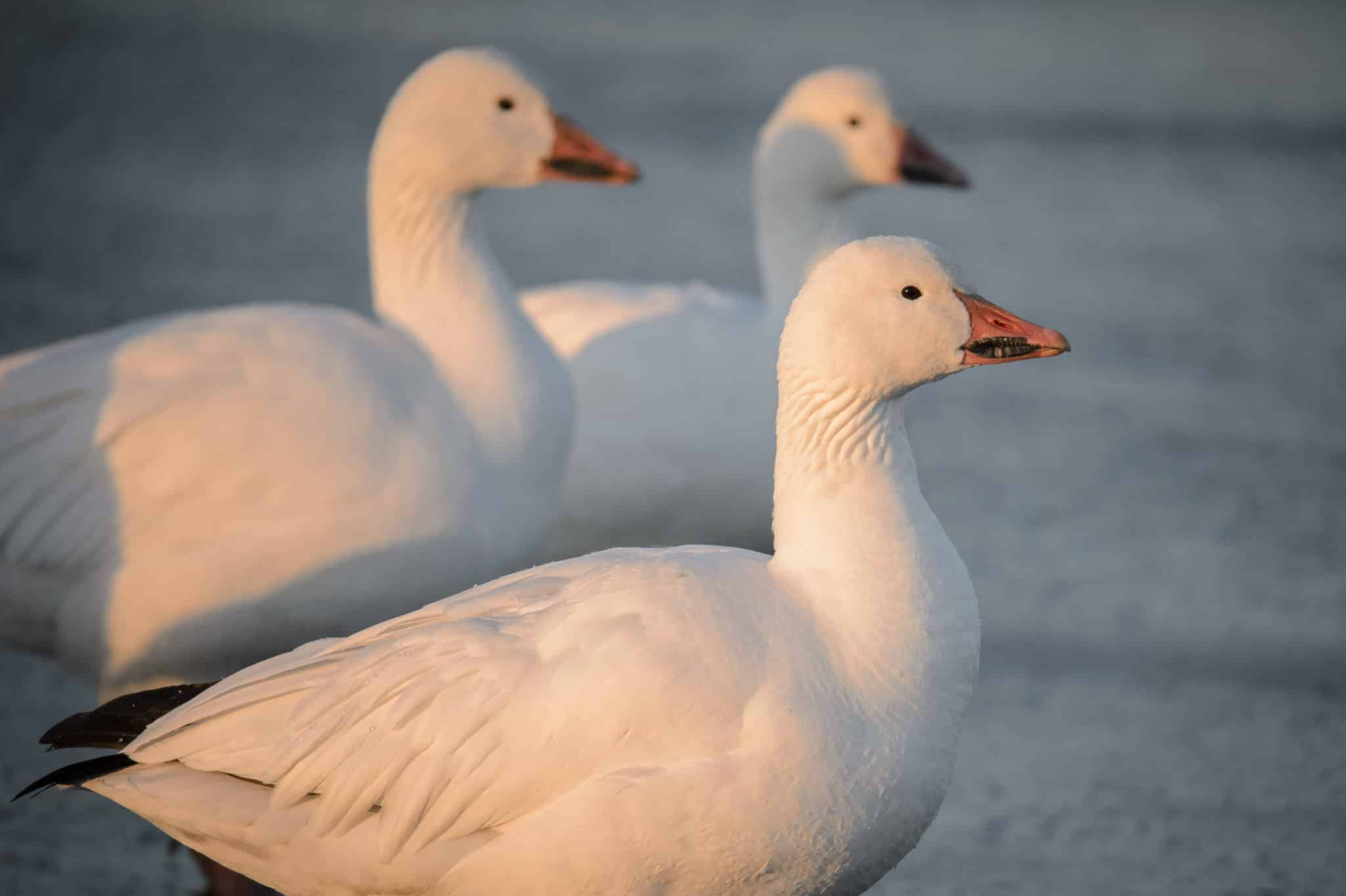 The black pattern on the meaks of these snow geese is called a grin patch. It is an identification characteristic for Snow Geese. These birds were photographed in Bosque del Apache National Wildlife Refuge near Socorro, New Mexico.