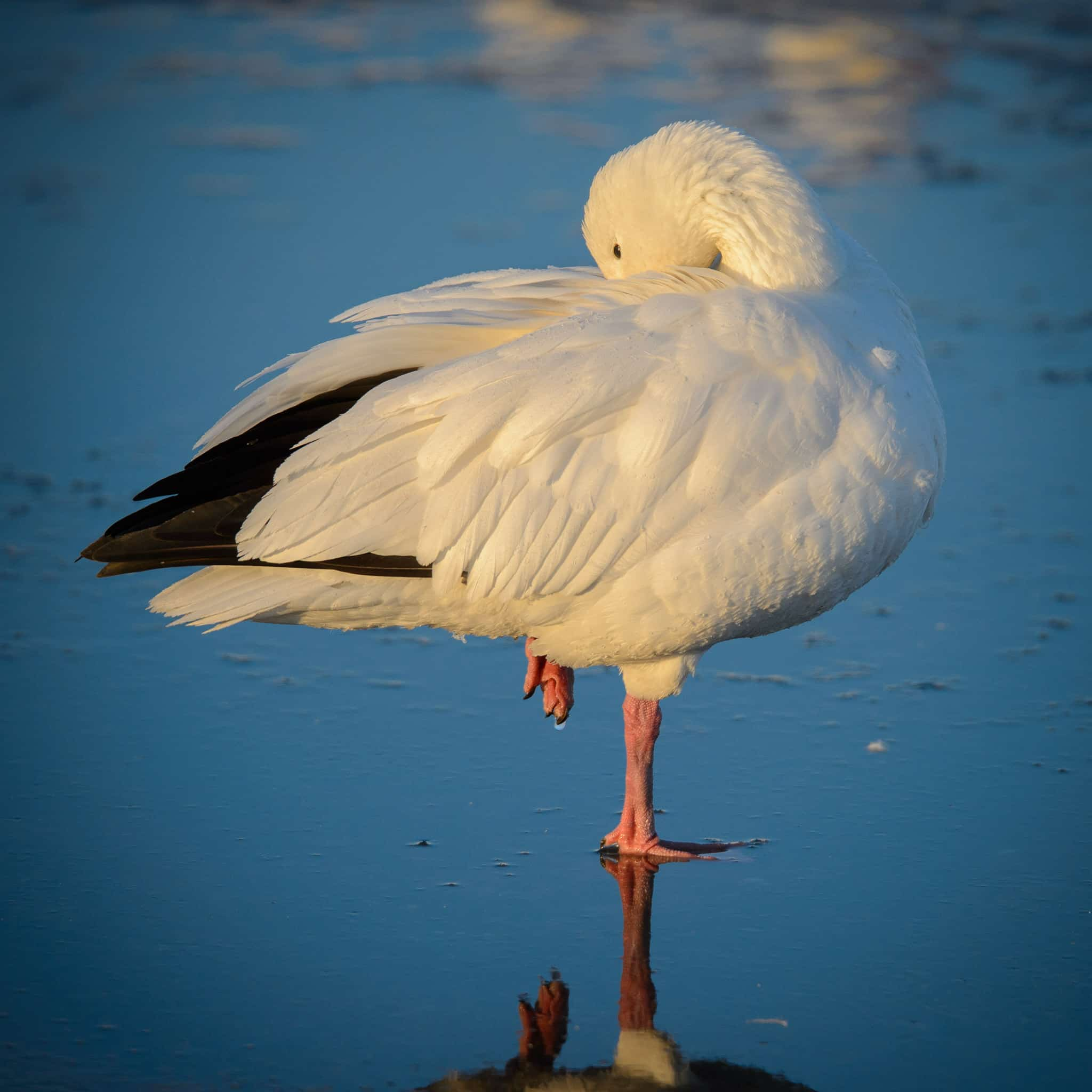 This Snow Goose was photographed on a pond in Bosque del Apache National Wildlife Refuge near Socorro, New Mexico.