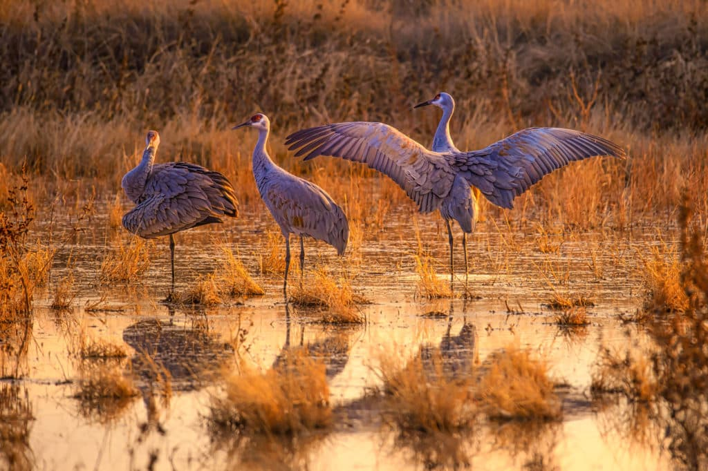 These three Greater Sandhill Cranes assumed three different poses that nicely showed off their plummage at sunset in Bosque del Apache National Wildlife Refuge near Socorro, New Mexico.