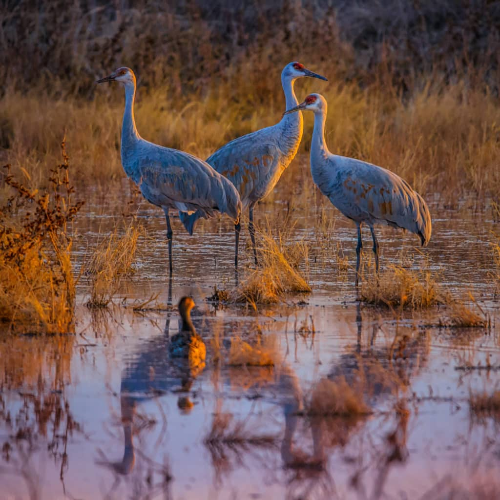 At sunset Three Greater Sandhill Cranes keep watch for predators as they rest in a pond in Bosque del Apache National Wildlife Refuge near Socorro, New Mexico.