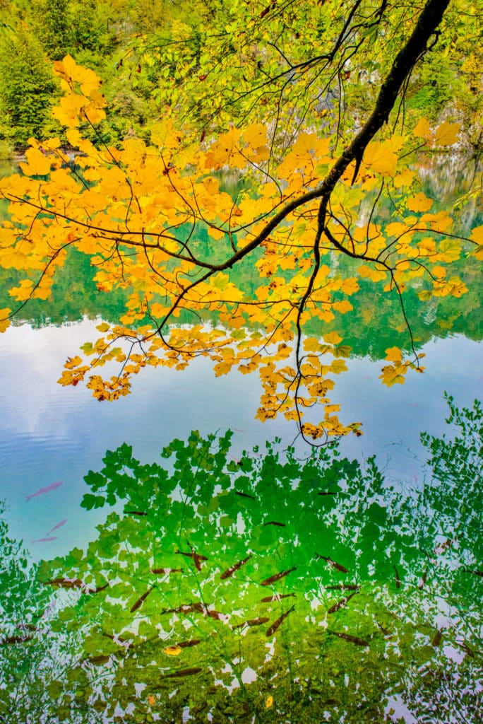 Yellow fall leaves reflect in the fish-filled emerald green water of Plitvice Lakes National Park in Croatia.