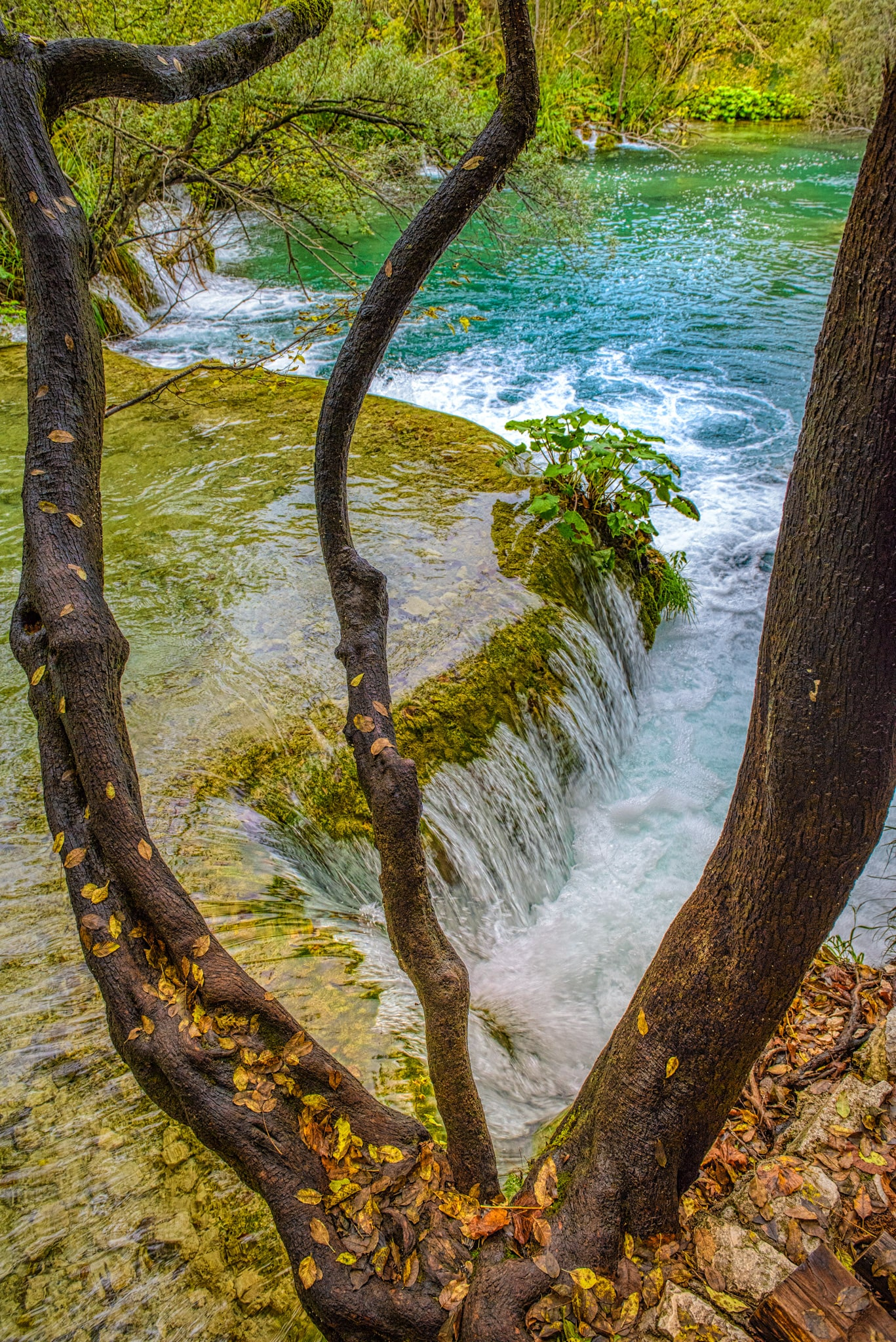 Autumn leaves adorn a tree leaning out over waterfalls in Lake Milanovac in Plitvice Lakes National Park in Croatia.
