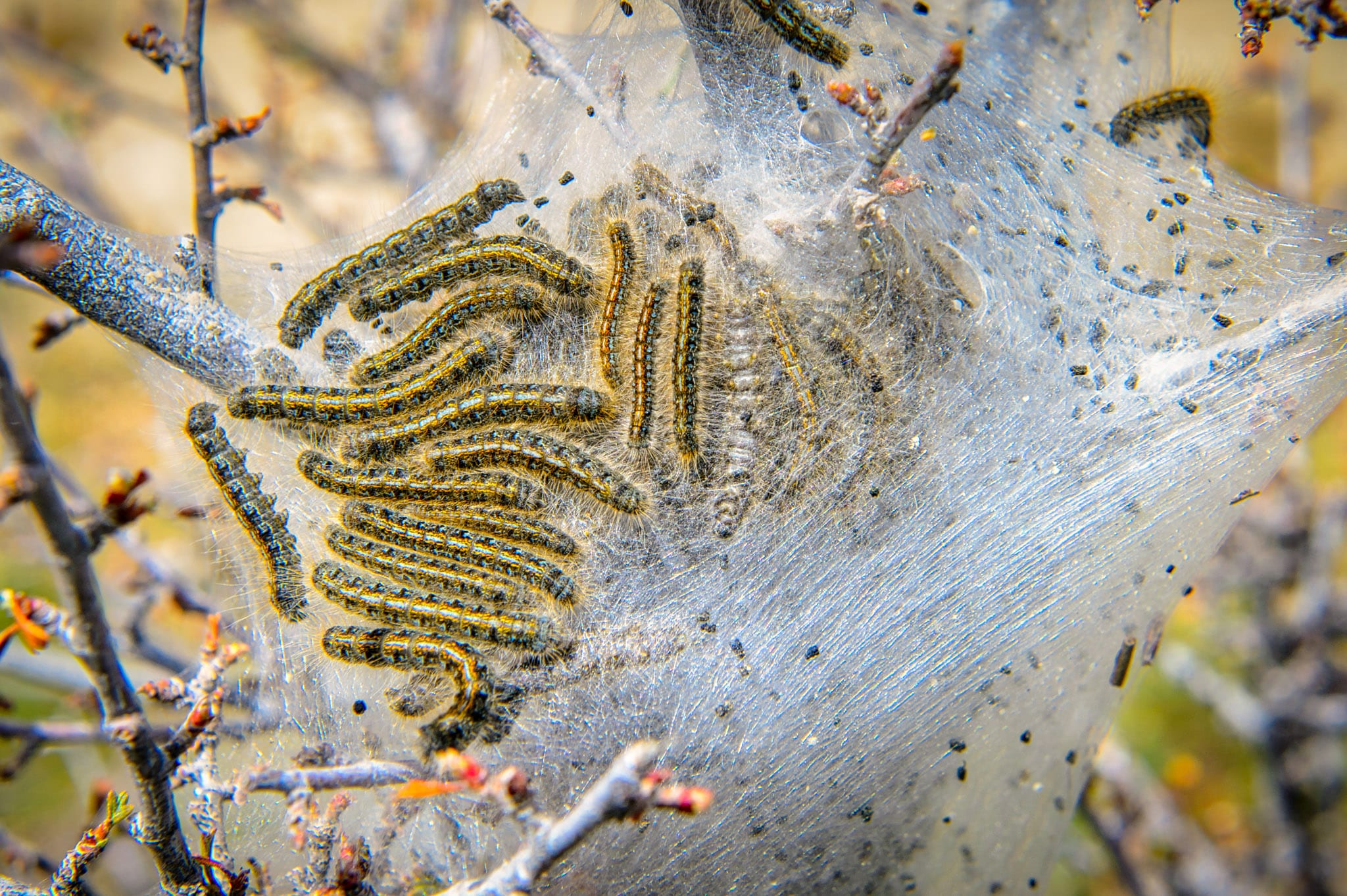 Tent caterpillars, although destructive, are rather pretty with their blue and yellow stripes and brushy bristles. From the City of Rocks National Reserve portfolio.