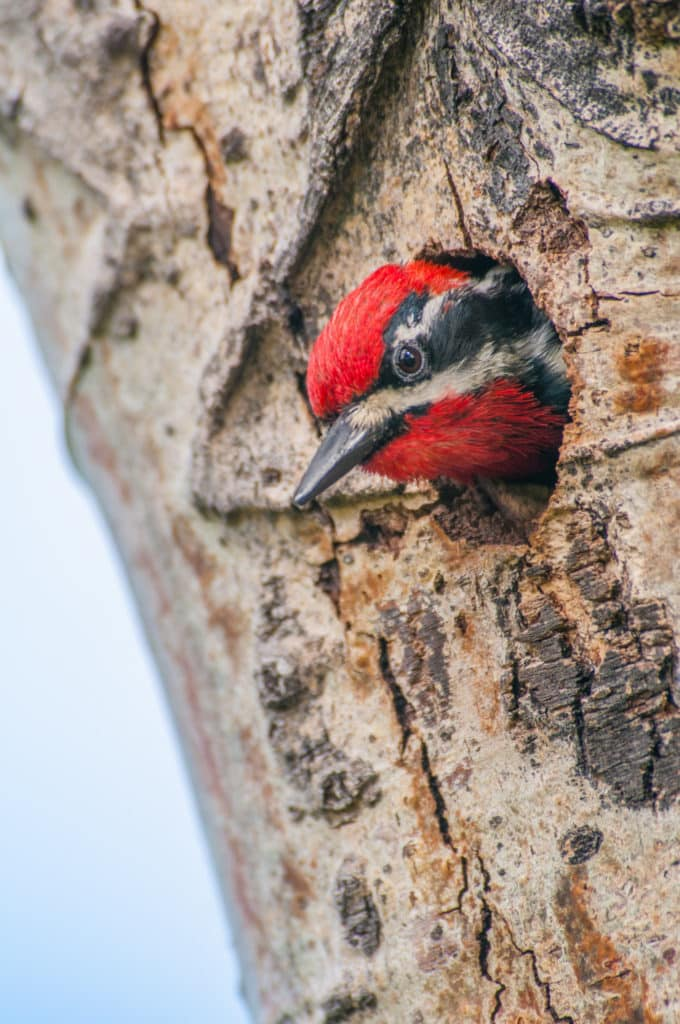 A Red-naped Sapsucker peaks out of his hole in a tree in Rocky Mountain National Park, Colorado.
