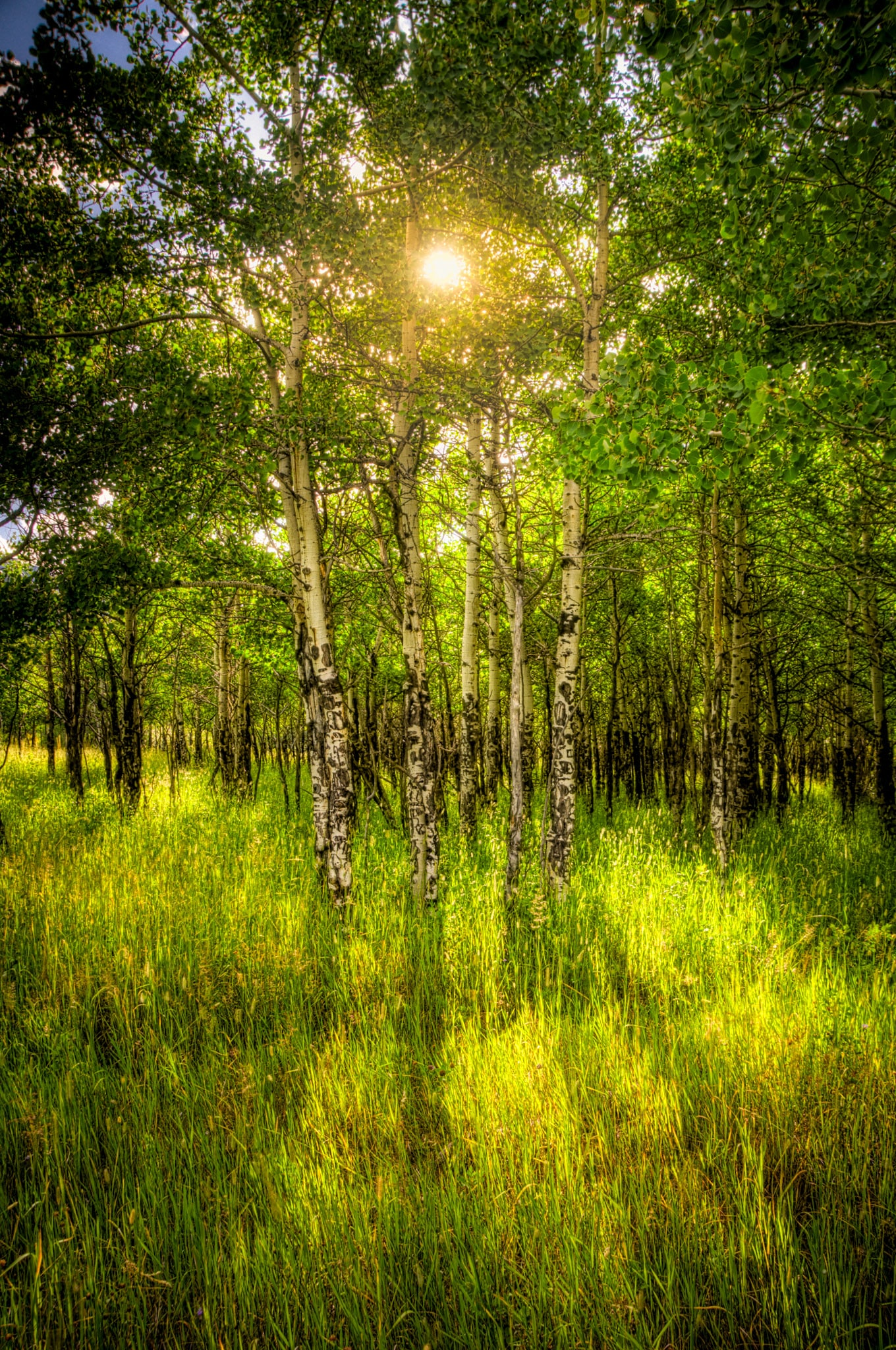 Summer sun shines through a grove of aspens and casts shadows in the grass.