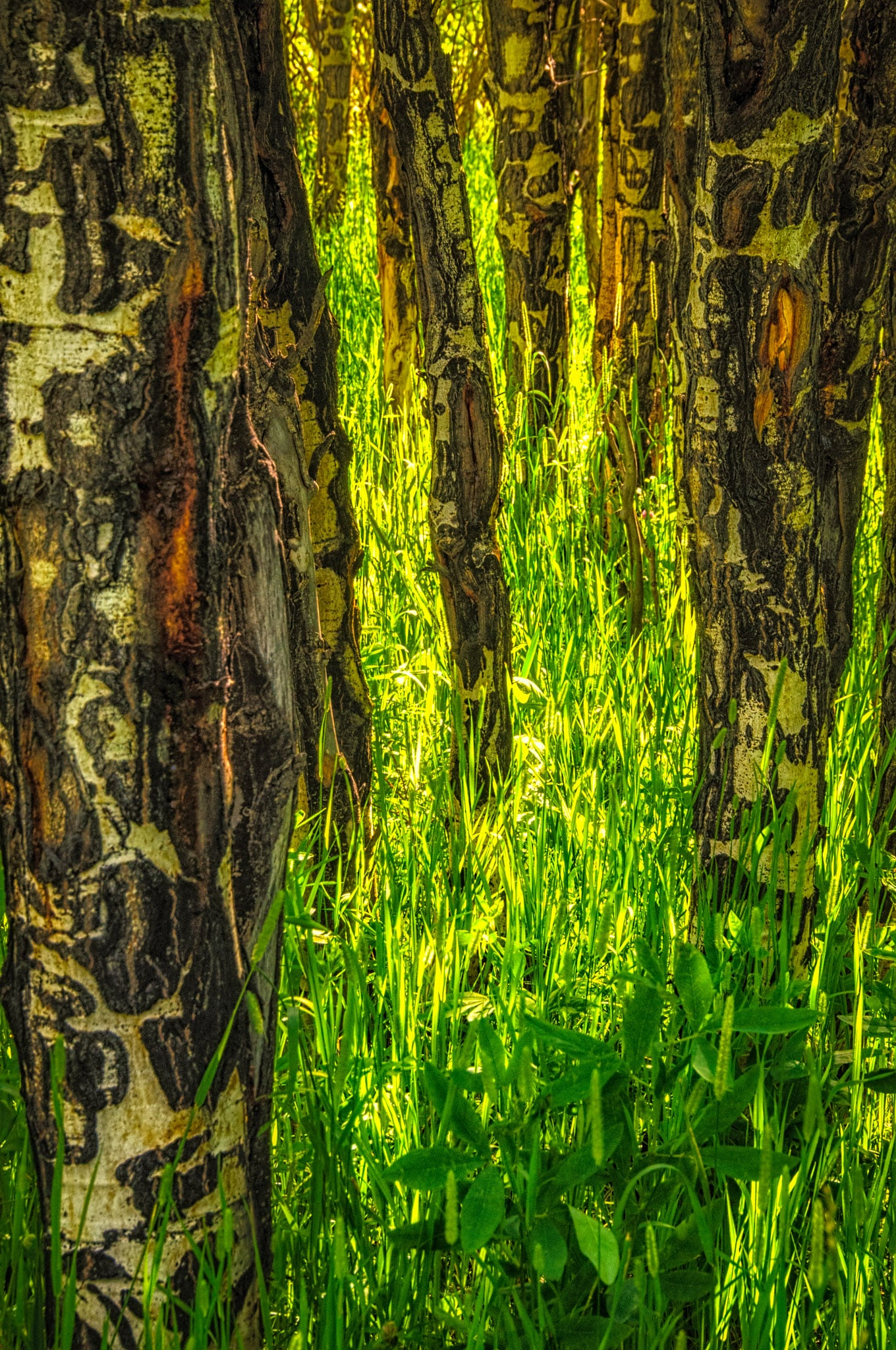Trunks of an Aspen Grove in the Upper Beaver Meadows area of Rocky Mountain National Park.