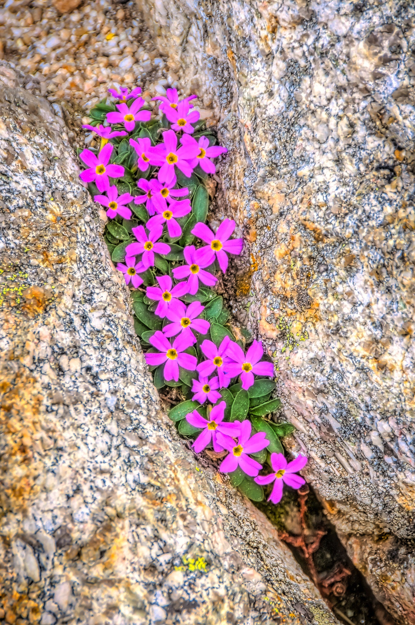 A cluster of Fairy Primrose grows in a rock cleft at Rock Cut along Trail Ridge Road in Rocky Mountain National Park in Colorado.