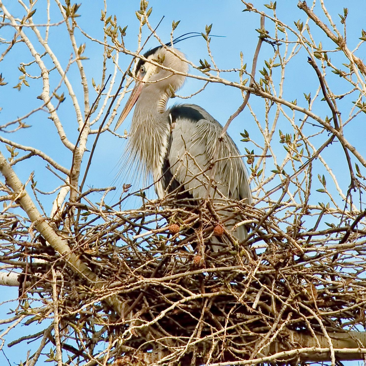 Blue Heron nesting in the Rancho Sedona RV Park in Sedona, Arizona.