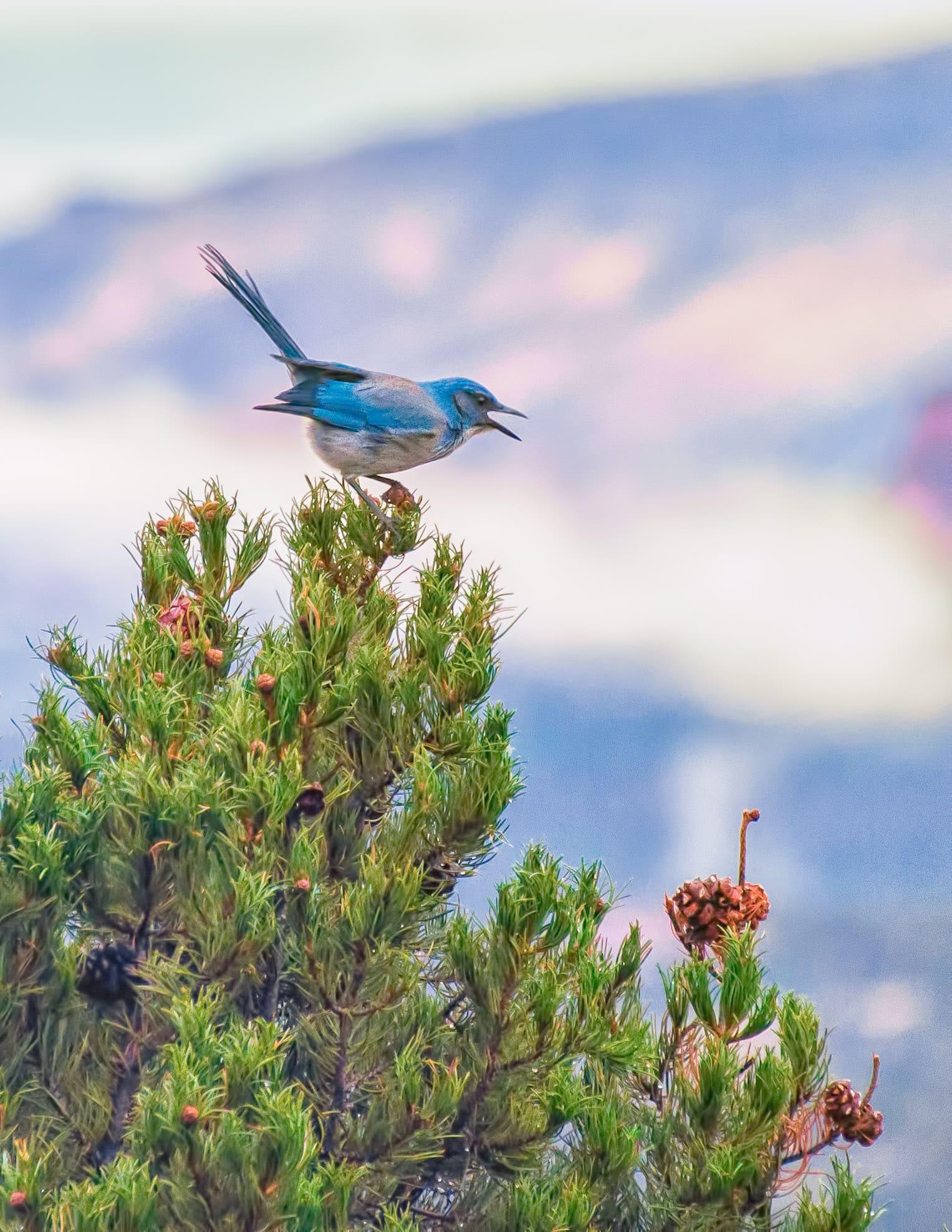 A Mountain Bluebird perches atop a pinon tree along Airport Road in Sedona, Arizona.