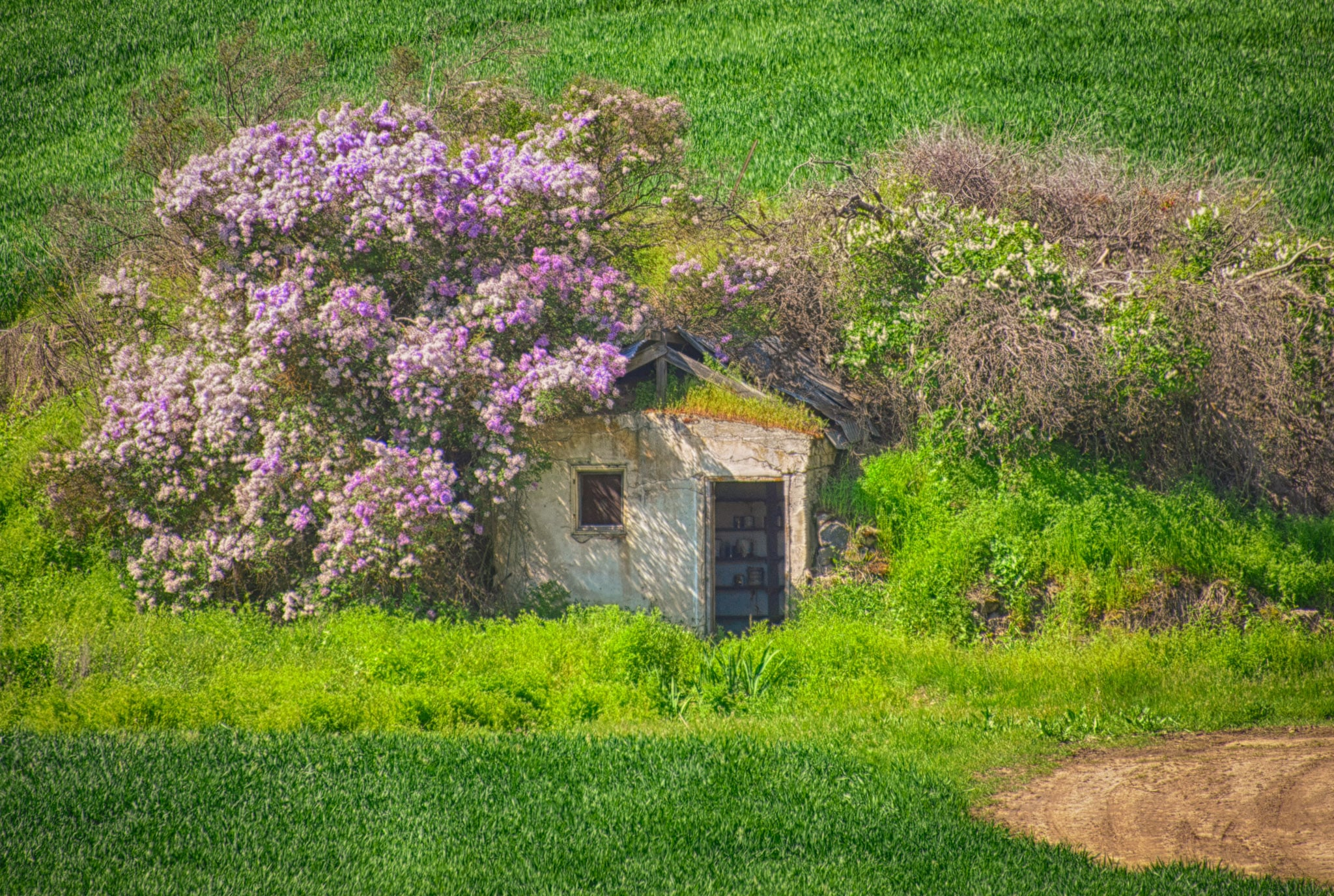 Lilac bushes almost hide a run-down out-building in a field in the Palouse region of eastern Washington, near Colfax.