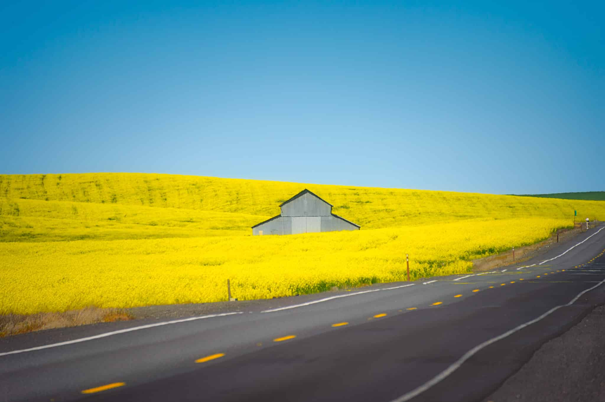 A corrugated metal barn sits in a field of Canola in the Palouse region of eastern Washington, south of Spokane.