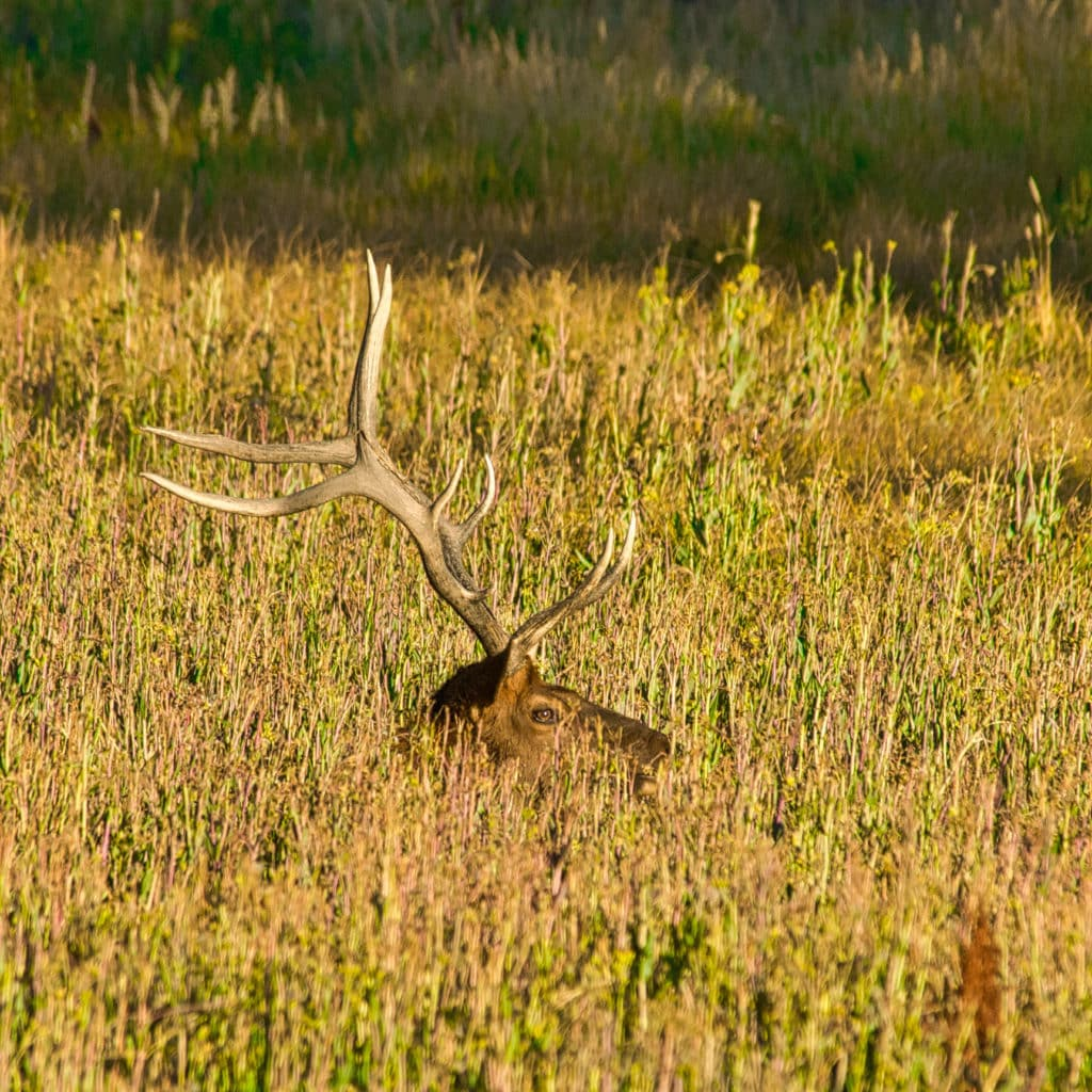 Bull elk sits in the grasses along the Madison River in Yellowstone National Park.