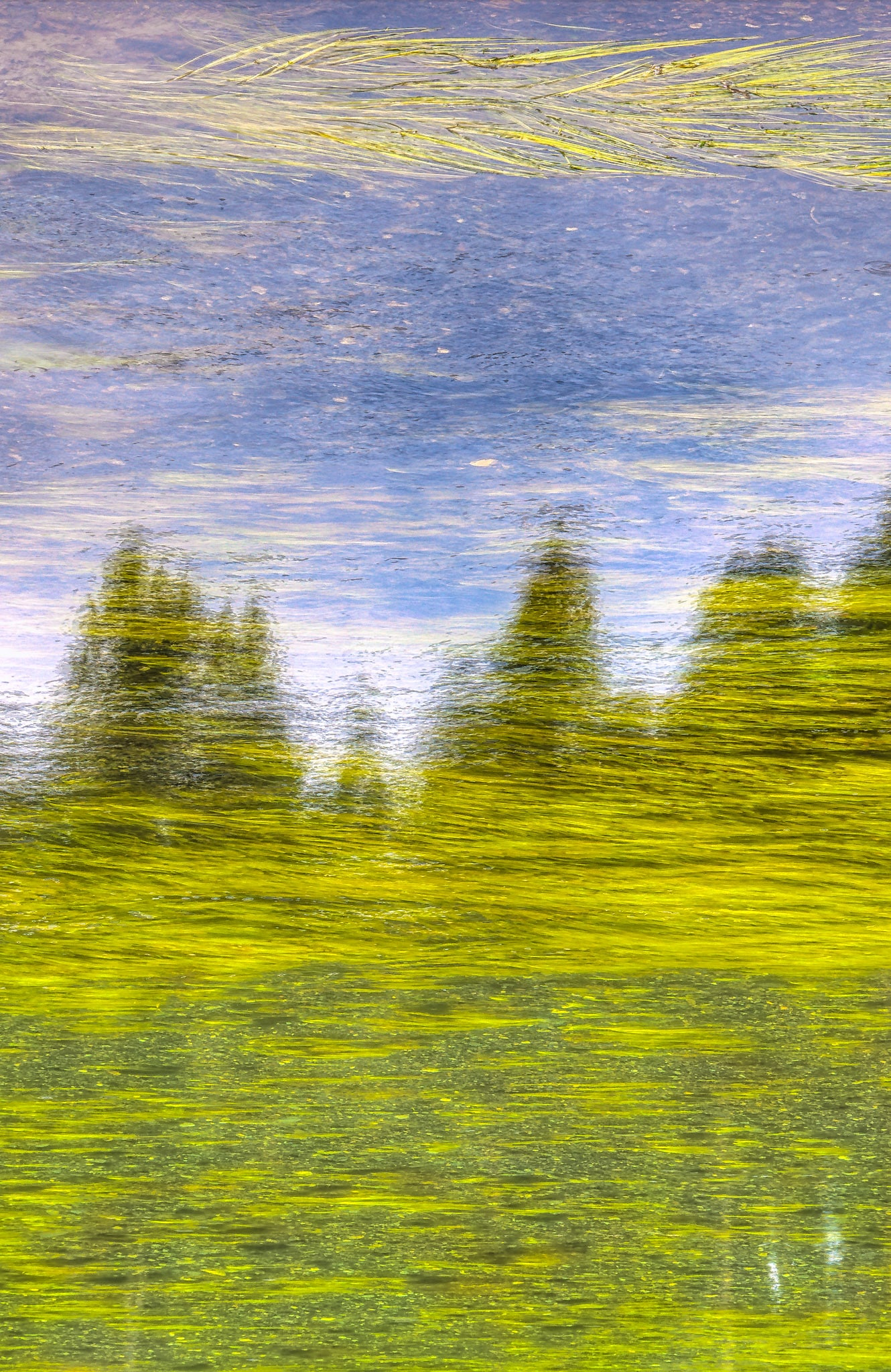 Lodgepole pine reflected in a pond in Yellowstone National Park, Wyoming.