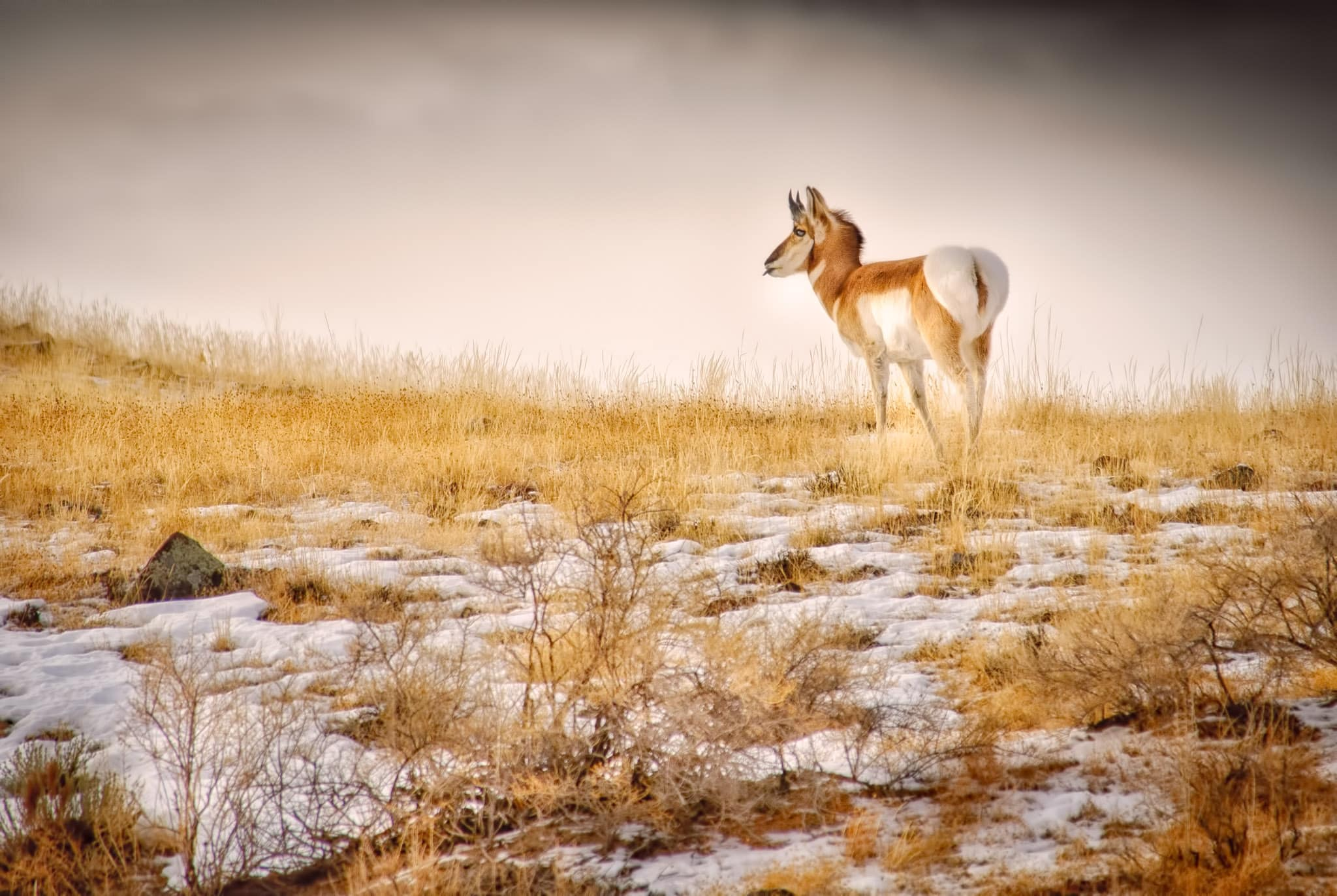 As a coyote approaches from the left, this pronghorn considered whether to find another place to graze.