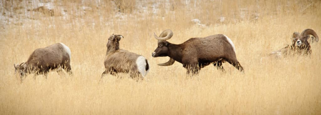 A Bighorn ram pursues the mother of his children-to-be as bystanders eat and rest.