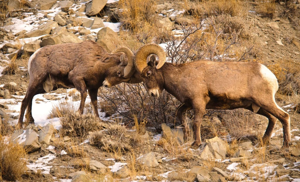 Whaaap! Two Bighorn rams collide in the annual playoff for the right to pass on your genetic material.