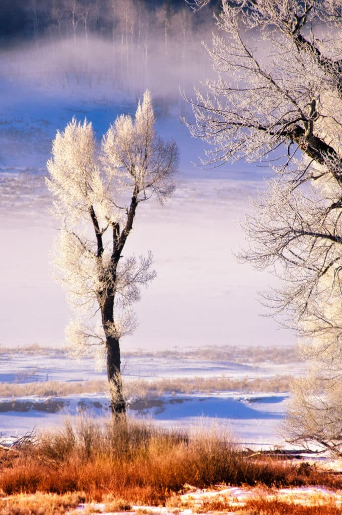 The first light of day brushes the icy brances of trees in the Lamar Valley of Yellowstone National Park.