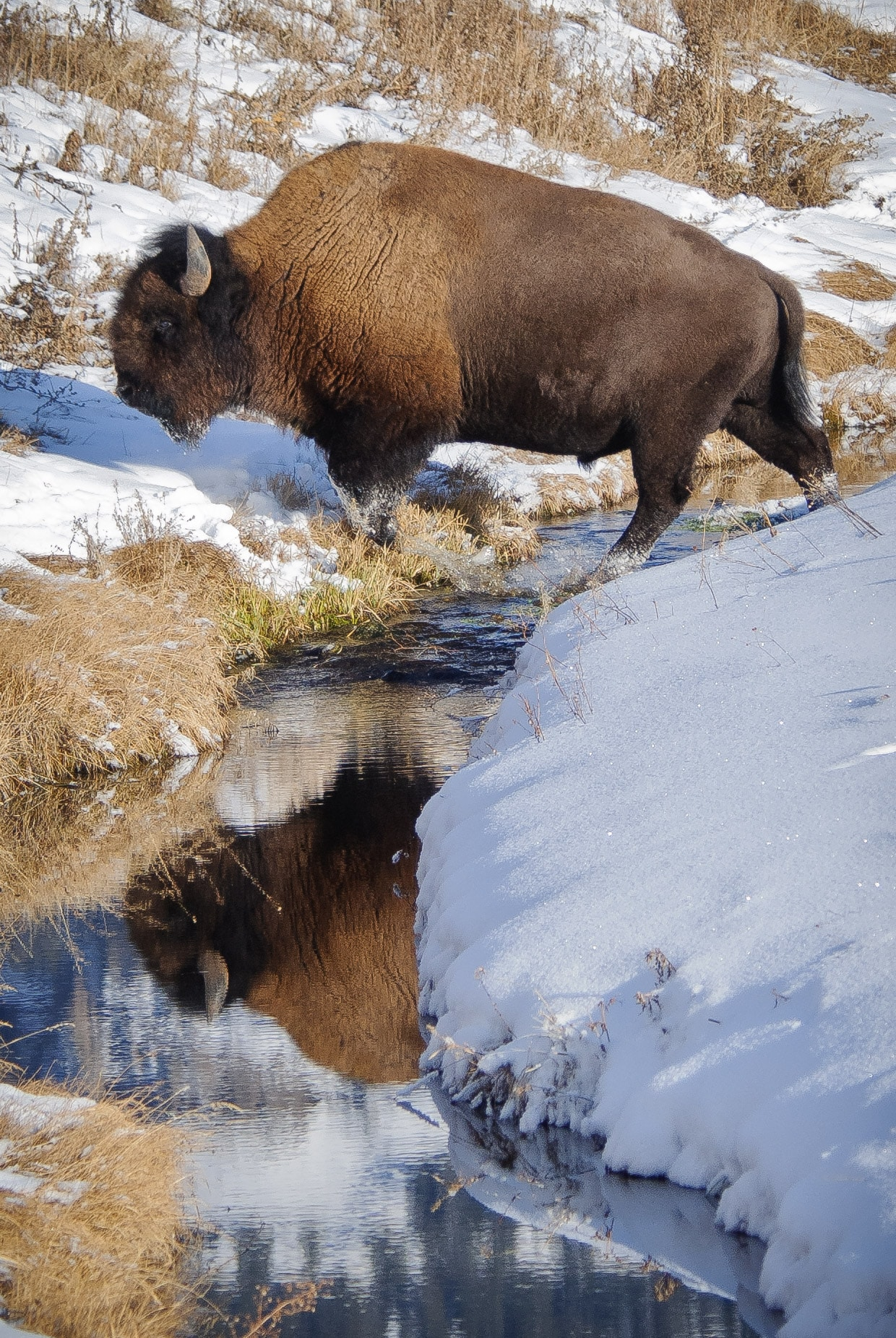 Bison crosses a creek in the Lamar Valley of Yellowstone National Park.