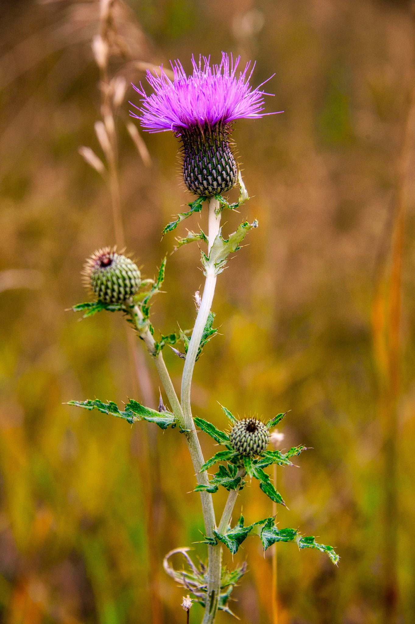 This Canadian Thistle is lovely even though it is an invasive species. It was growing in a field at Sylvan Lake in Custer State Park, South Dakota.