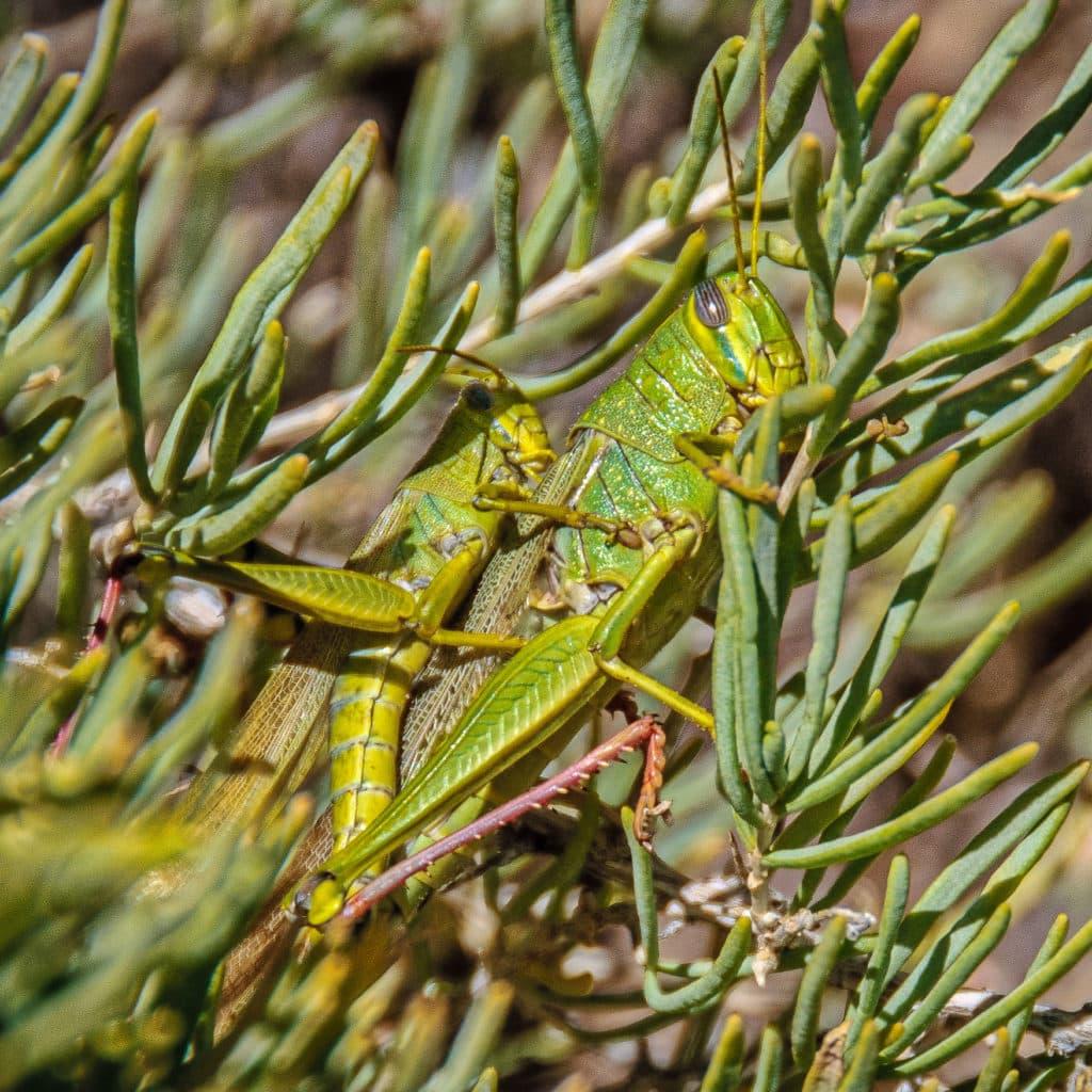 Desert Grasshopper along Cub Creek in Dinosaur National Monument in Utah.