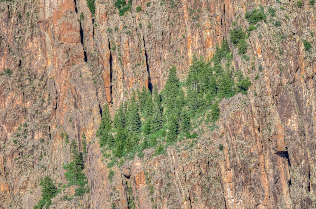 The immensity of the Black Canyon of the Gunnison is highlighted by this forest of pine trees growing on a ledge.