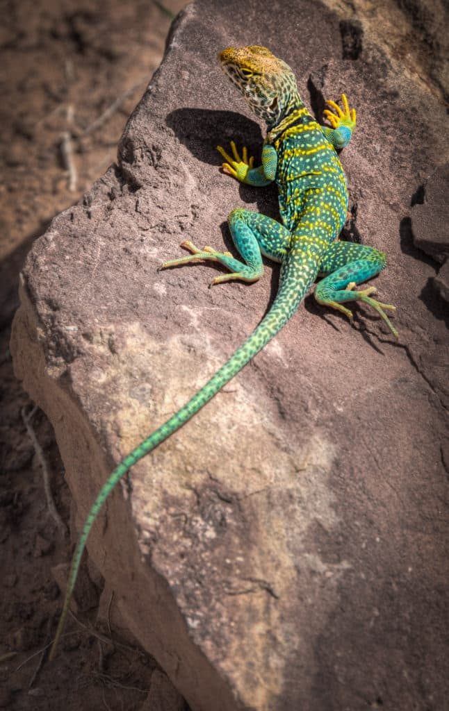 A common collared lizard (Crotaphytus collaris) enjoys the mid-day sun in Devils Canyon near Fruita, Colorado.