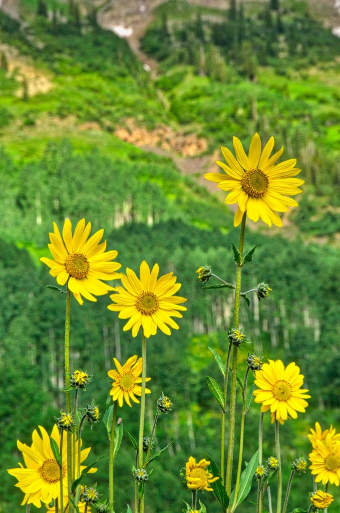 Aspen Sunflowers, Helianthella quinquenervis, grow along Gothic Road, north of Mount Crested Butte, Colorado